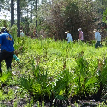 Pine planting at Lower Green Swamp Preserve