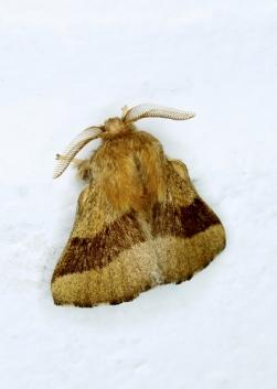 Forest Tent Moth - Malacosoma disstria