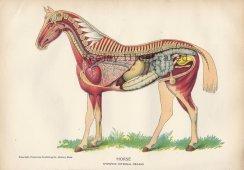 Horse anatomy spine